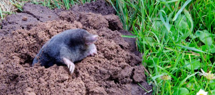 What's the Difference Between a Gopher and Mole?