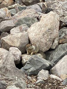 Ground Squirrel on rocks