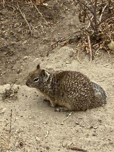Ground Squirrel in dirt