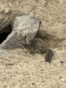 Ground Squirrel near a rock