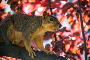 Tree Squirrel in red leaves