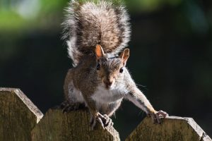Tree Squirrel on Fence